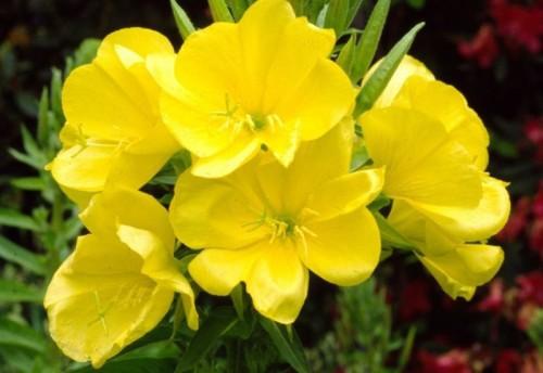 Билки, облекчаващи симтпомите на предменструален синдром